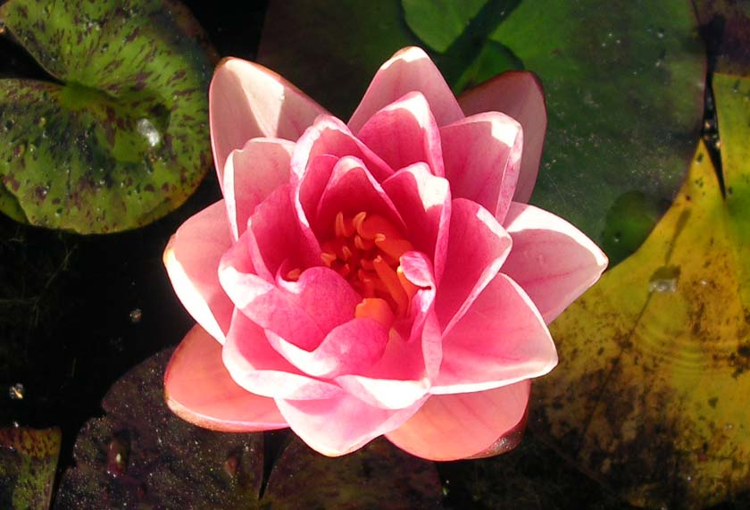 BERIT STRAWN WATER LILLY