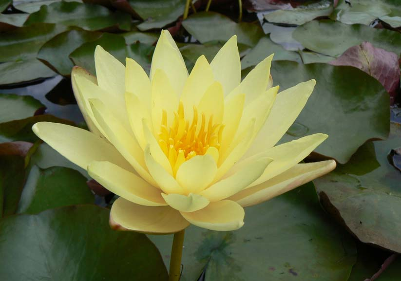 CANARY YELLOW WATER LILY