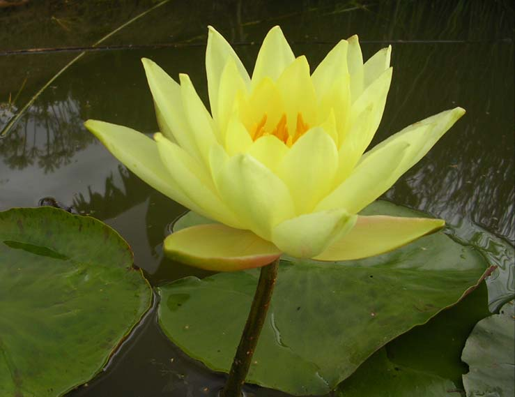 CANARY YELLOW WATERLILLY
