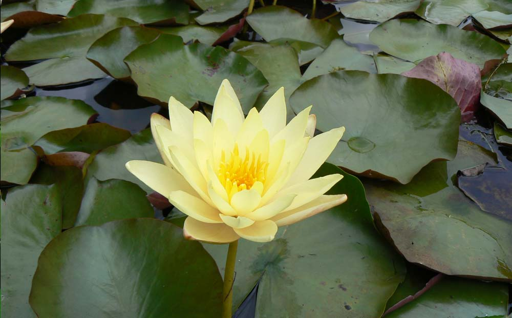CANARY YELLOW WATERLILY