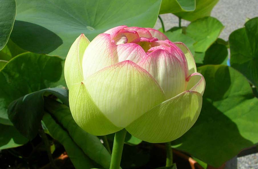 Lotus plants cochranes green magic lotus plant mightylinksfo