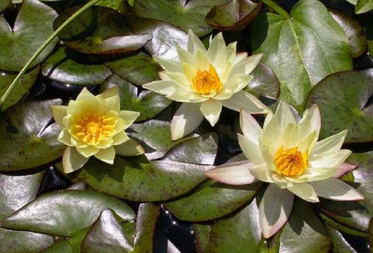 HELVOLA WATER LILY