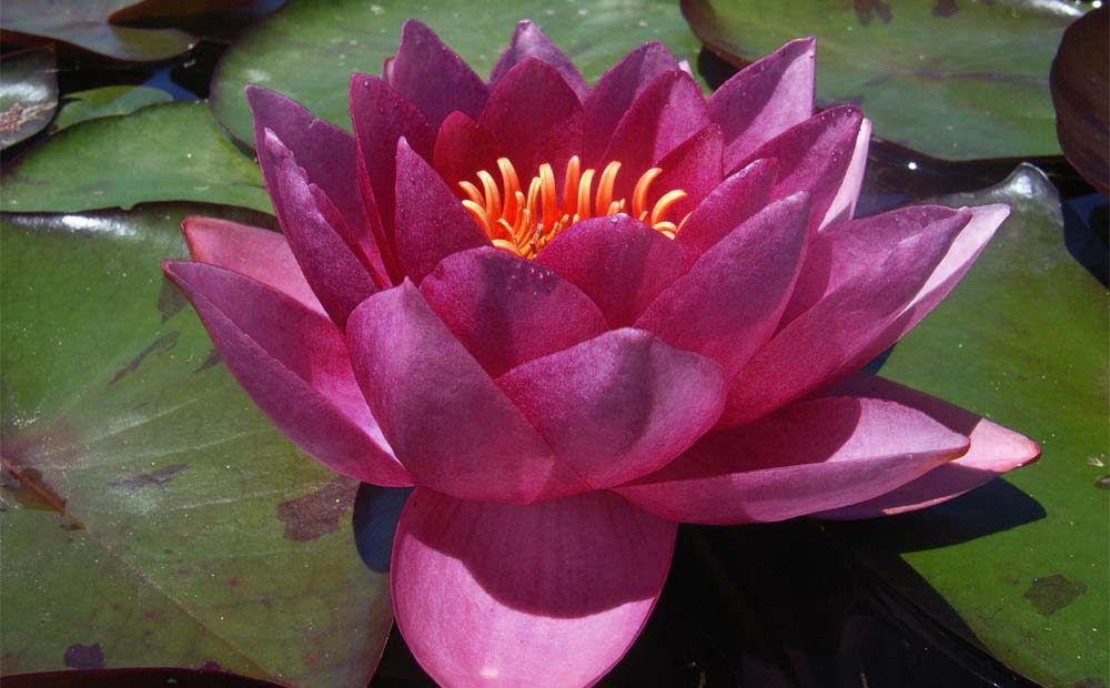 JAMES BRYDON RED WATERLILY