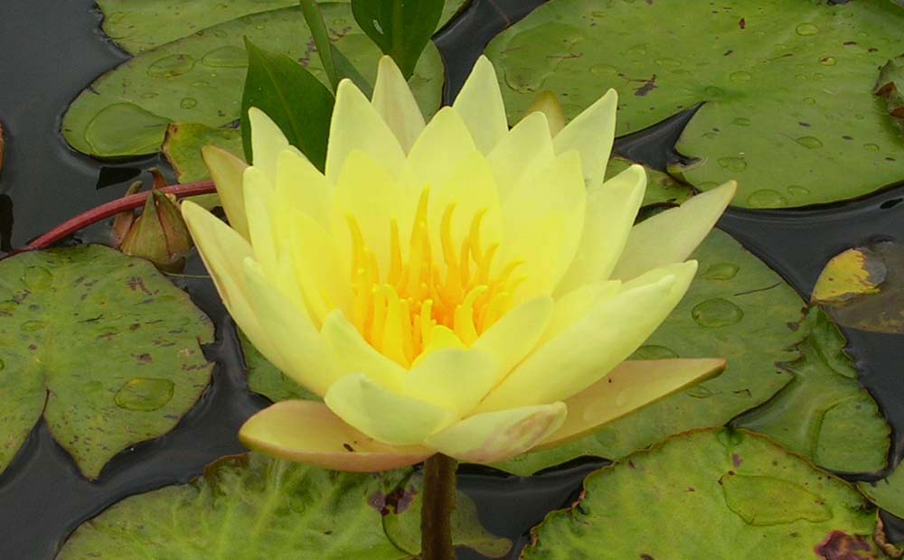 JOEY TOMOCK WATER LILY
