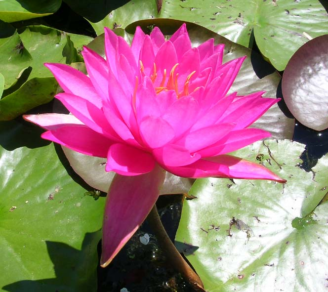 MALYA PINK WATER LILY