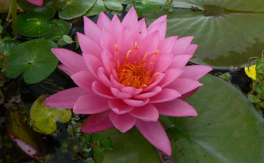 MALYA WATER LILY