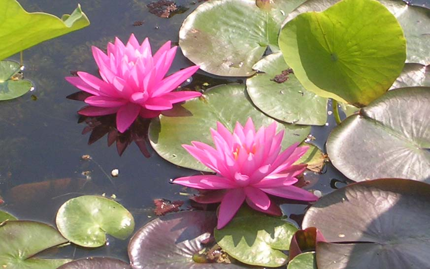 ROSE AREY WATER LILY