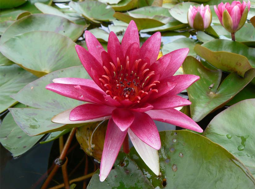 Sirius Water lily