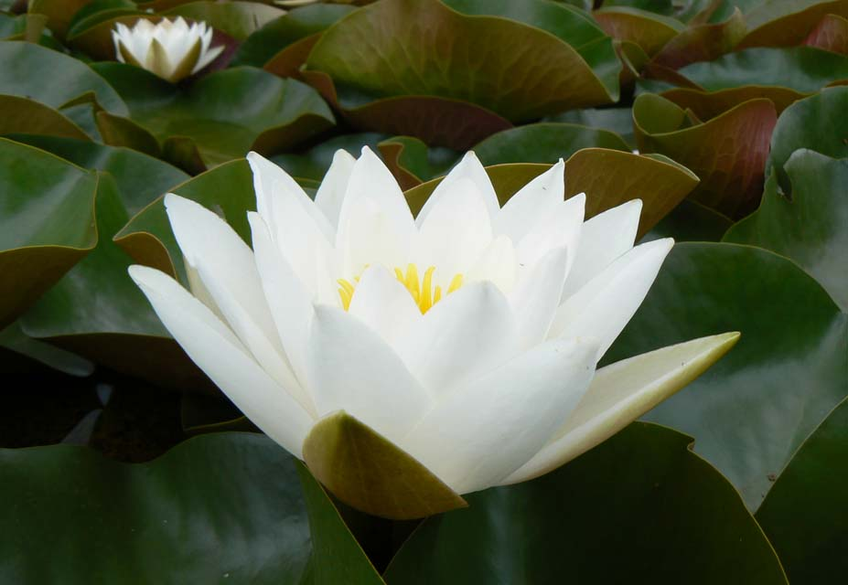 WHITE SUNRISE WATER LILY