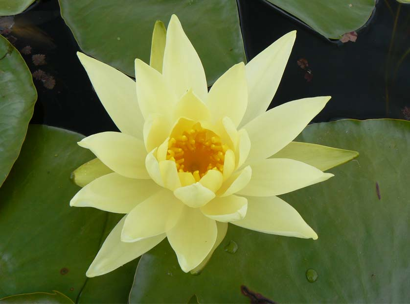 YELLOW PRINCESS WATER LILLY