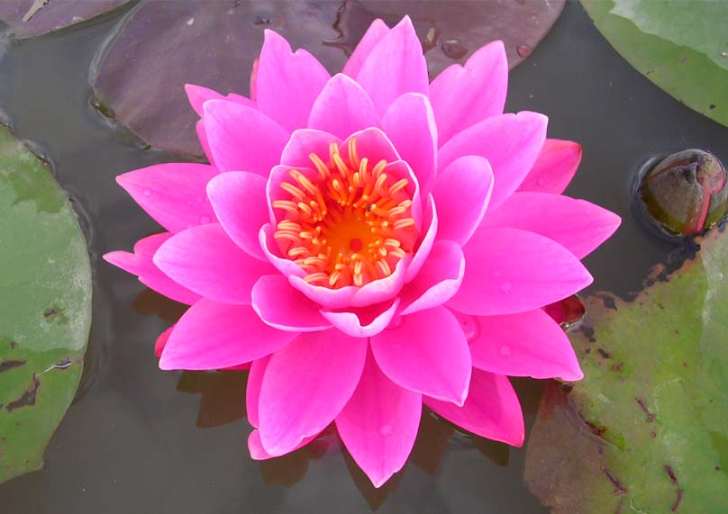 perrys pink water lilly