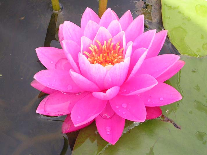 perrys pink waterlily
